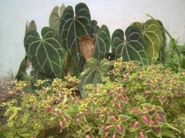 Kuping Gajah dan Myana