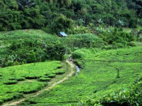 Hijaunya perkebunan teh