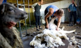 Professional shearers at hard work cutting of wool