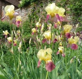 Iris 'Shannopin'