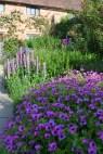 Geranium psilostemon with Lupinus 'Blue Jacket' in background