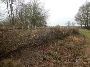 The hedgelaying completed by those on the course...
