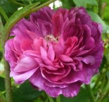 Rosa 'Cardinal de Richelieu'