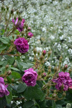 Roses and Crambe cordifolia