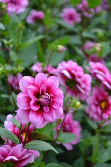Dahlia 'Pink Michigan'