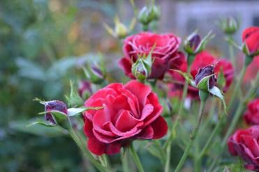Rosa 'De Ruiter's Herald'