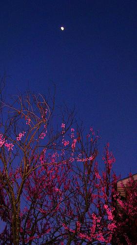 night-redbud