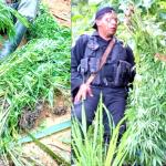 Destruyen plantillo de marihuana y detienen a una persona en Siuna