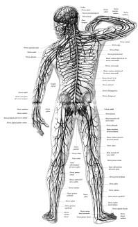 Sistema Nervioso Periferico Para Colorear Sistema