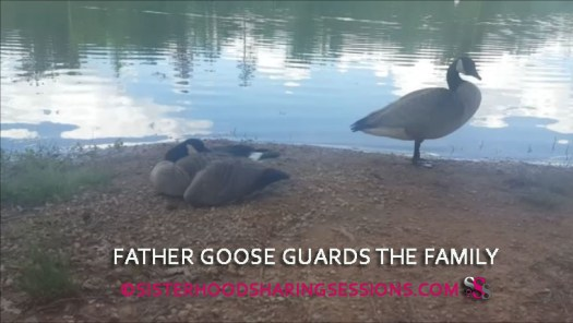 A Gander Guards Mother Goose And Baby Goslings