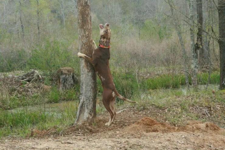 Ranger treeing