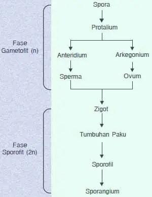 Siklus Tumbuhan Paku : siklus, tumbuhan, Jenis-Jenis, Tumbuhan, Pteridophyta
