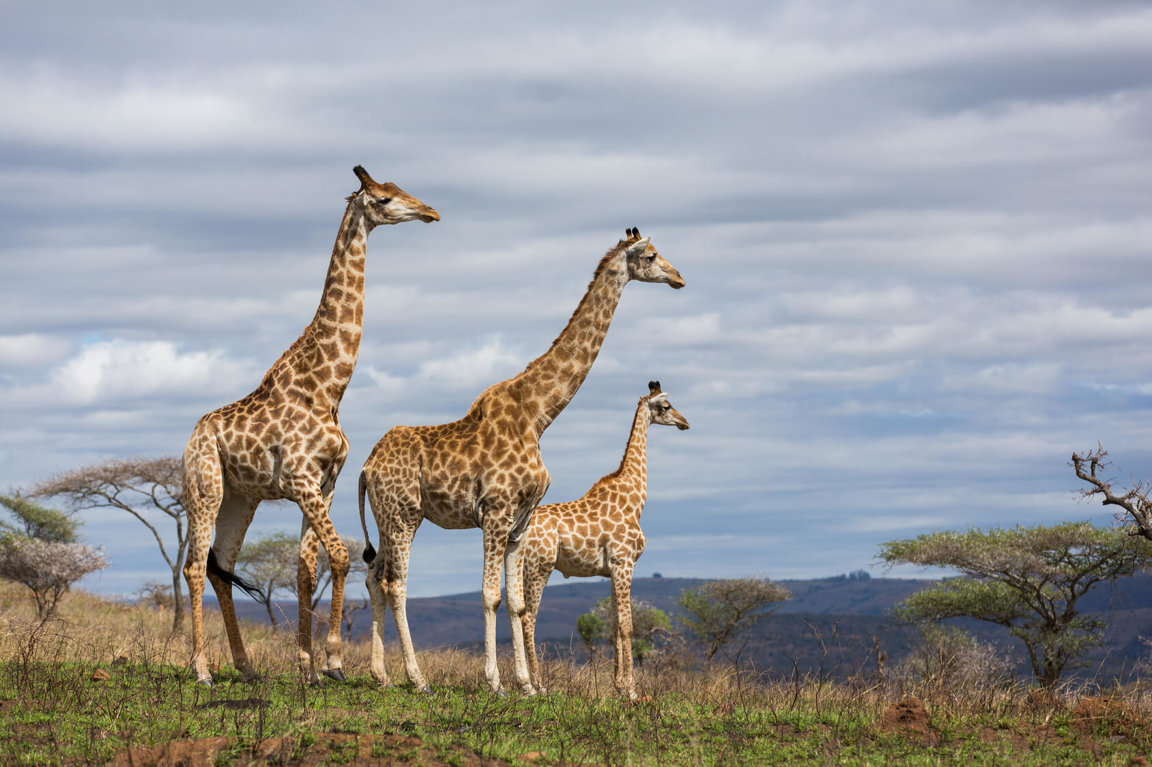 Giraffes In Danger - Wild Earth News & Facts by World Animal Foundation