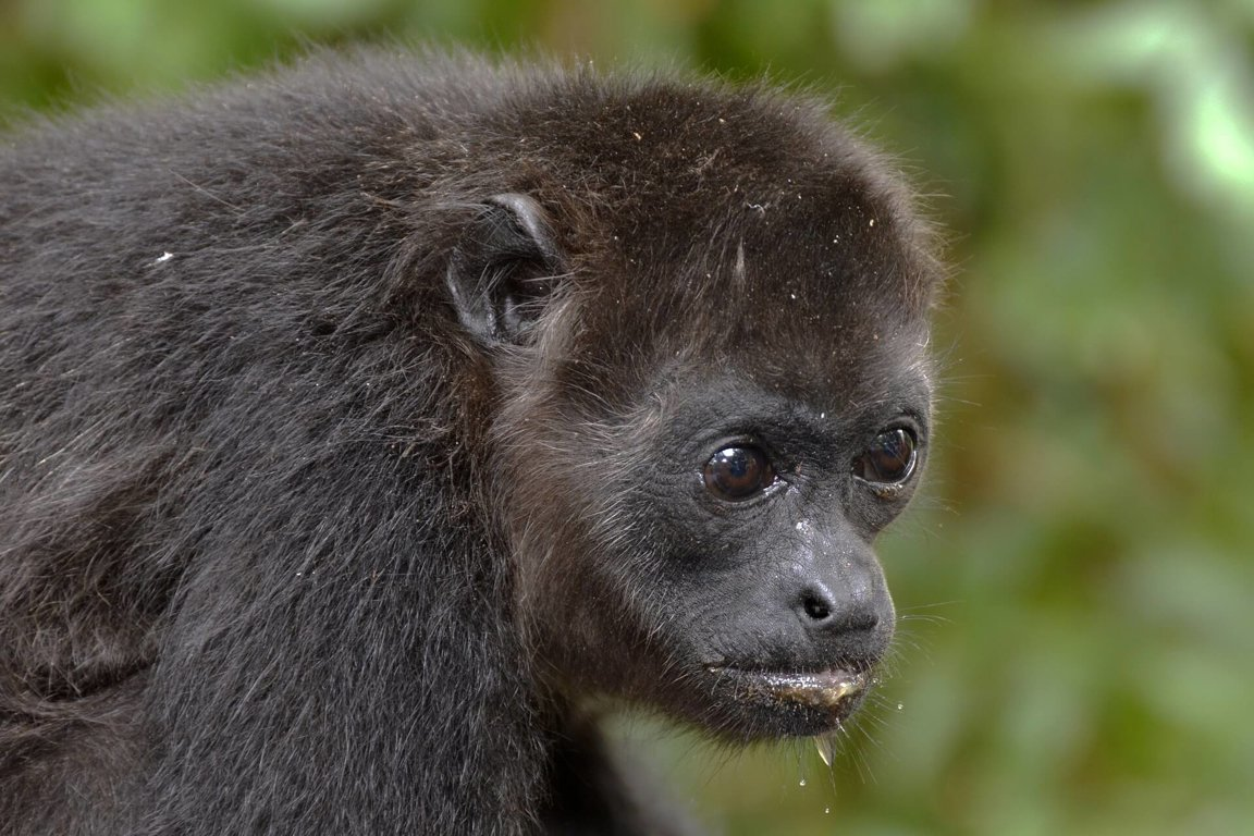 Howler Monkey Facts For Kids