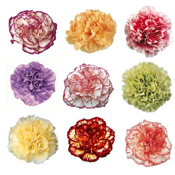 mixed color novelty carnation