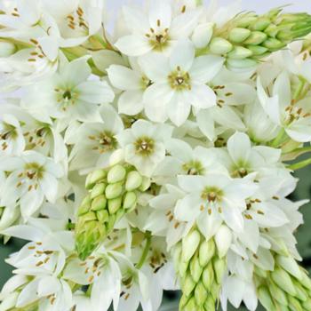 Star Of Bethlehem White Flower Fiftyflowers Com