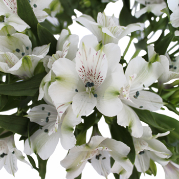 alstroemeria wholesale bulk flowers