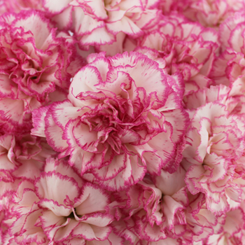 white and pink carnation