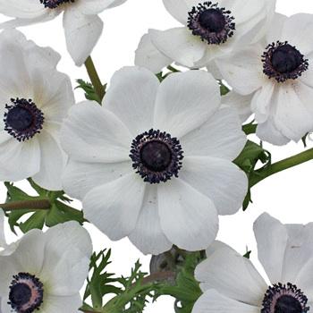 anemone wholesale bulk flowers