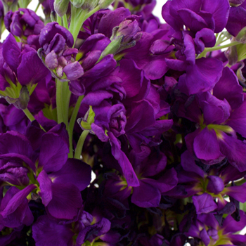 royal purple flowers wholesale