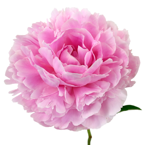 pink peonies flower september