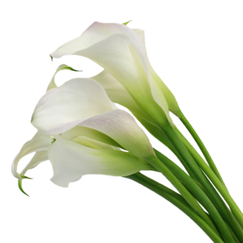 blush mini calla lily