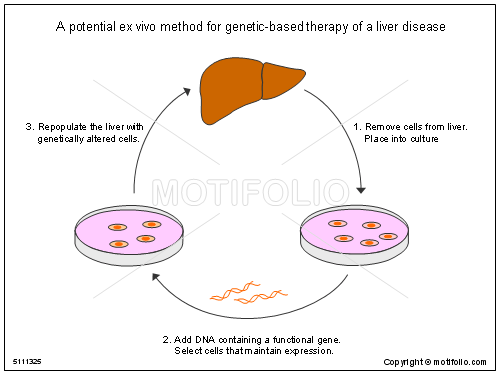in vivo gene therapy diagram lighting wiring diagrams a potential ex method for genetic based of liver title