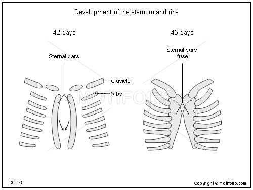 Development of the sternum and ribs Illustrations
