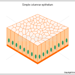 Stratified Columnar Epithelium Diagram 2003 Ford F 350 Wiring Simple Illustrations Title