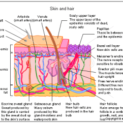 Skin Cross Section Diagram Printable Basketball Court Layout Cell Wiring All Data Slide Layers Of And Muscle
