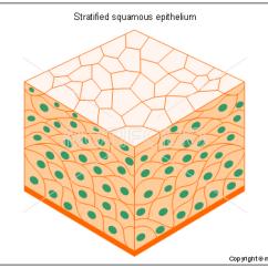 Stratified Columnar Epithelium Diagram Romai E Bike Wiring Squamous Illustrations Title
