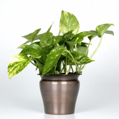Engelmann Direct 45LEP010296-01 Exotic Angel Plants - Pothos Golden in 4.5 LE