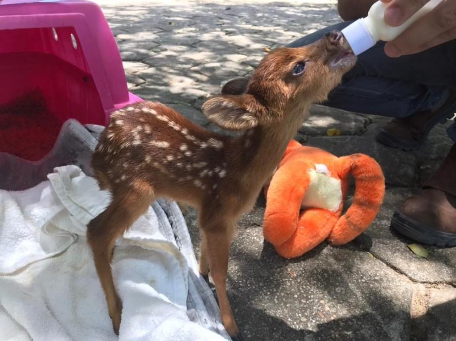 Filhote de veado resgatado está em reabilitação no Iema — Foto: Divulgação/Iema