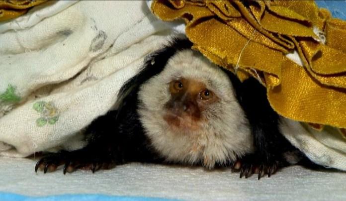 Sagui, animal nativo brasileiro, é tratado em hospital para pets exóticos do ES, em parceria com órgãos ambientais