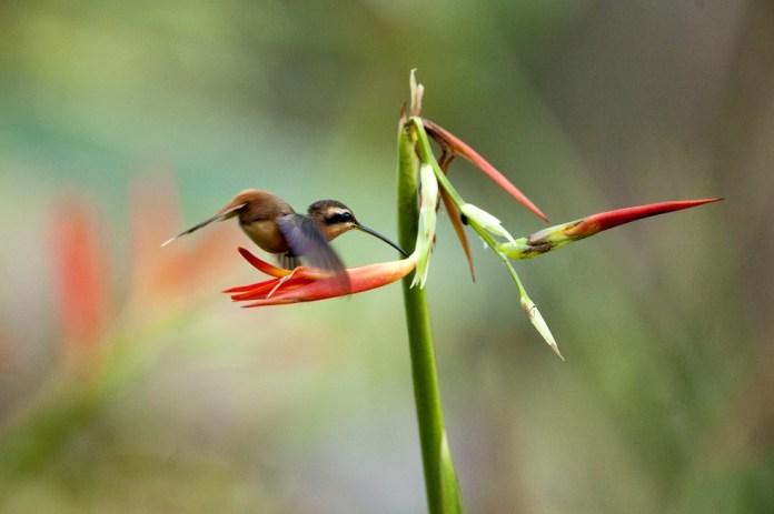 Beija-flor fotografado nas florestas do Instituto Terra — Foto: Leonardo Merçon