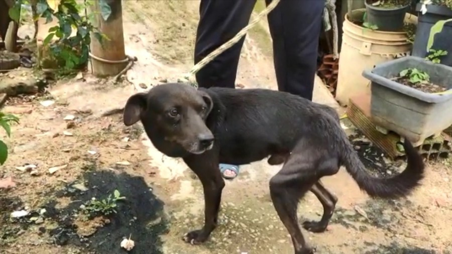 Cão resgatado em Viana estava muito magro e era amarrado pelo pescoço com uma corda