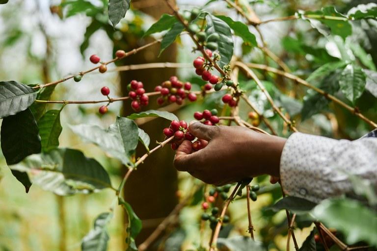 Setor cafeeiro tem mais de R$ 4,6 bilhões em linhas de crédito por meio do Funcafé