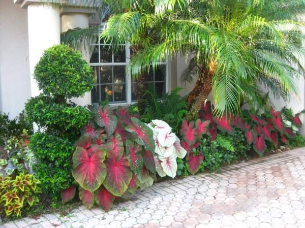 arranging caladiums in flower beds
