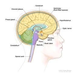 Brain Diagram Inside Rheem Wiring Stem Patient Siteman Cancer Center