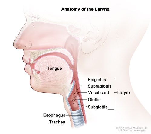 small resolution of the three parts of the larynx are the supraglottis including the epiglottis the glottis including the vocal cords and the subglottis