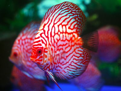 Discus Fish Sales Discus Fish Information