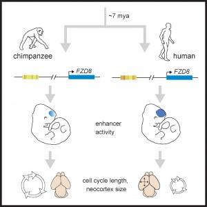Genetic basis for brain evolution