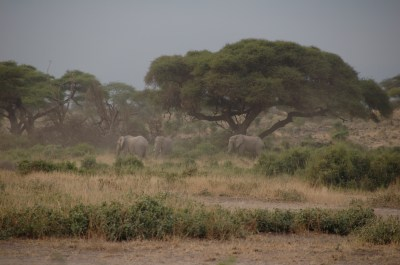 Elephants of Amboseli in Kenya. Submitted by Susan Alberts.