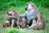 Baboons in Amboseli National Park, just north of Mount Kilimanjaro. Submitted by Amanda Lea.