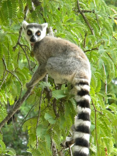 Ring-tailed lemur in the Beza Mahafaly Special Reserve in Madagascar. Photo taken during Katie Grogan's field work
