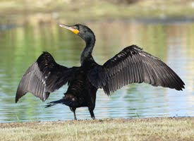 double%20crested%20cormorant