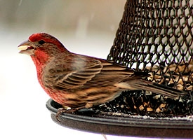 house finch glamour