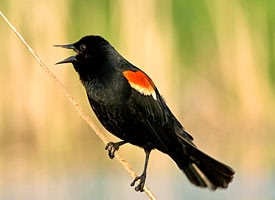 red winged blackbird glamour