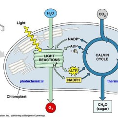 Light Reactions Photosystem Diagram Cat6 Keystone Wiring 8 3 Photosynthesis Independent Of The Calvin Cycle Take Place In Stroma