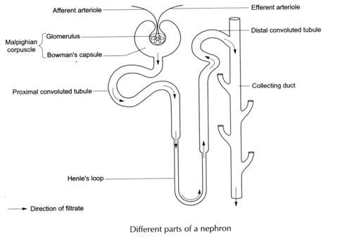 Urine Formation: Anatomy of Nephron, Composition, Videos